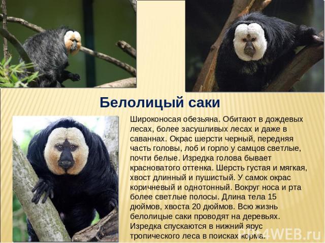 Белолицый саки Широконосая обезьяна. Обитают в дождевых лесах, более засушливых лесах и даже в саваннах. Окрас шерсти черный, передняя часть головы, лоб и горло у самцов светлые, почти белые. Изредка голова бывает красноватого оттенка. Шерсть густая…