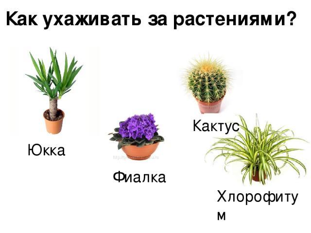 Как ухаживать за растениями? Юкка Фиалка Кактус Хлорофитум