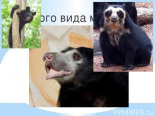 1. Губач 2. Очковый 3. Чёрный 4. Ушастый Какого вида медведей не существует?