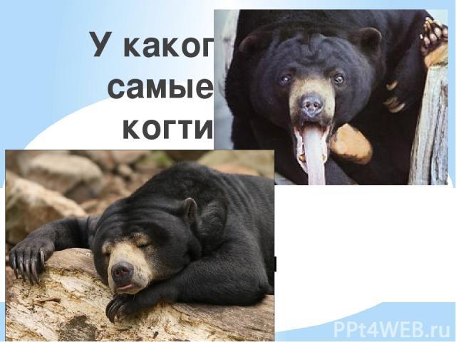1. Панда 2. Солнечный 3. Белогрудый 4. Полярный У какого медведя самые длинные когти и язык?