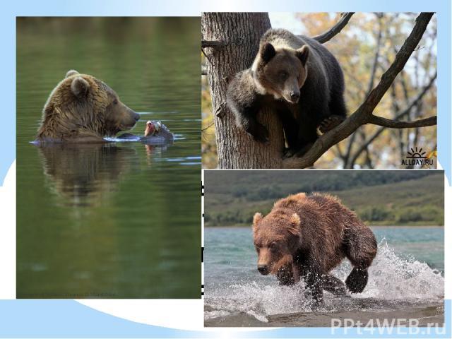 1. Лазать по деревьям 2. Плавать 3. Нырять 4. Бегать Что не любит делать бурый медведь?