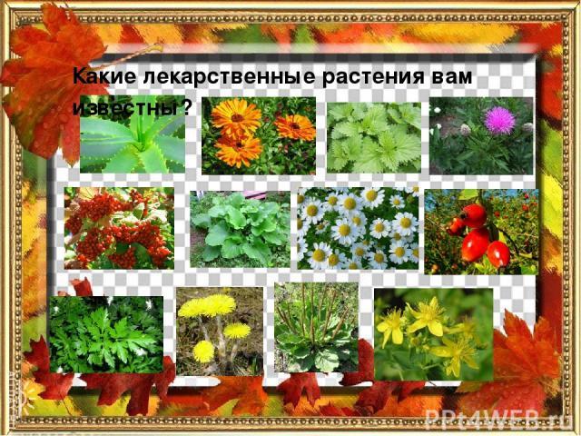 Какие лекарственные растения вам известны?