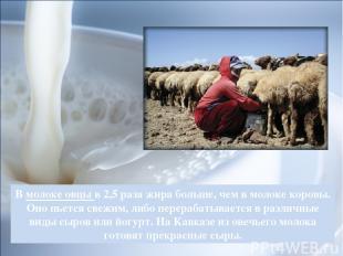В молоке овцы в 2,5 раза жира больше, чем в молоке коровы. Оно пьется свежим, ли