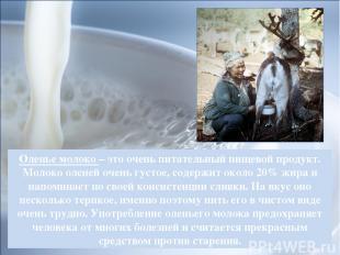 Оленье молоко – это очень питательный пищевой продукт. Молоко оленей очень густо