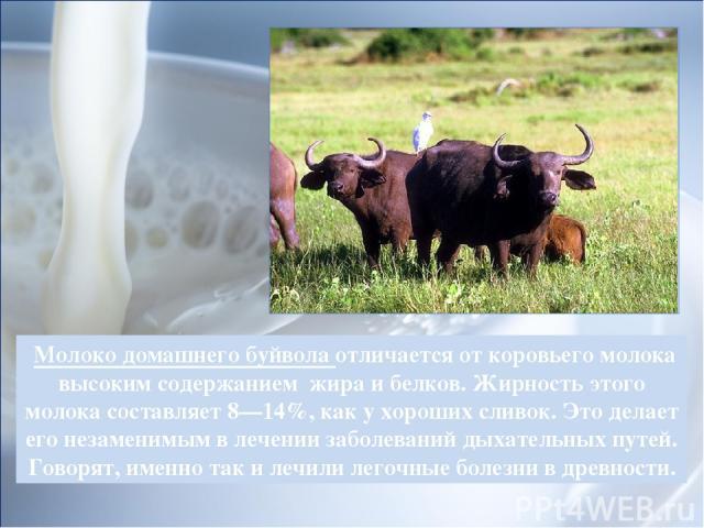 Молоко домашнего буйвола отличается от коровьего молока высоким содержанием жира и белков.Жирность этого молока составляет 8—14%, как у хороших сливок. Это делает его незаменимым в лечении заболеваний дыхательных путей. Говорят, именно так и лечили…