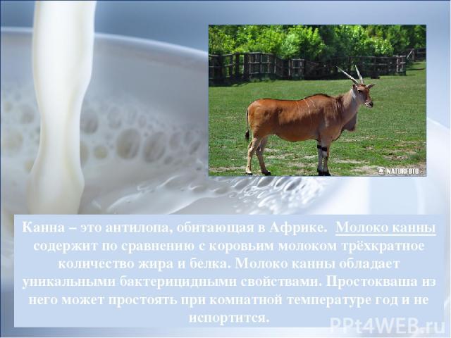 Канна – это антилопа, обитающая в Африке. Молоко канны содержит по сравнению с коровьим молоком трёхкратное количество жира и белка. Молоко канны обладает уникальными бактерицидными свойствами. Простокваша из него может простоять при комнатной темпе…