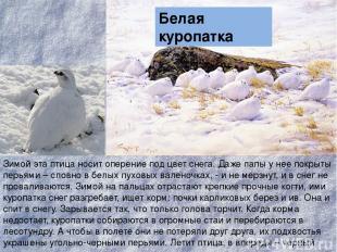 Зимой эта птица носит оперение под цвет снега. Даже лапы у нее покрыты перьями –