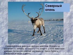 Северный олень довольно крупное животное. В длину он достигает 2-х метров, а