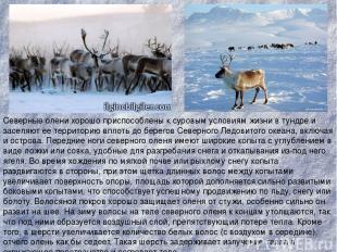 Северные олени хорошо приспособлены к суровым условиям жизни в тундре и заселяют