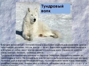 В тундре волки весьма многочисленны и достигают наибольших размеров (длина тела