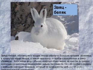 Зайцы-беляки, обитающие в тундре, иногда образуют большие колонии, поселяясь в п