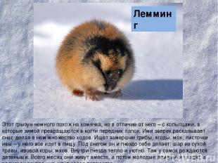 Этот грызун немного похож на хомячка, но в отличие от него – с копытцами, в кото