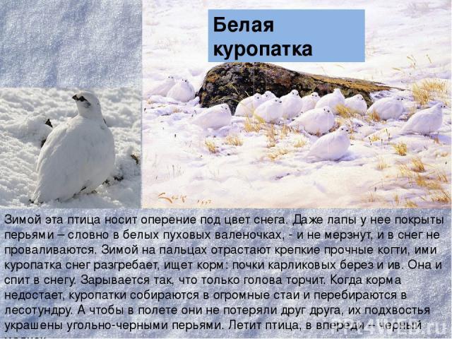 Зимой эта птица носит оперение под цвет снега. Даже лапы у нее покрыты перьями – словно в белых пуховых валеночках, - и не мерзнут, и в снег не проваливаются. Зимой на пальцах отрастают крепкие прочные когти, ими куропатка снег разгребает, ищет корм…