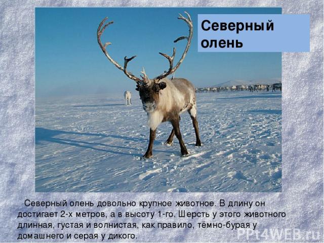 Северный олень довольно крупное животное. В длину он достигает 2-х метров, а в высоту 1-го. Шерсть у этого животного длинная, густая и волнистая, как правило, тёмно-бурая у домашнего и серая у дикого. Северный олень