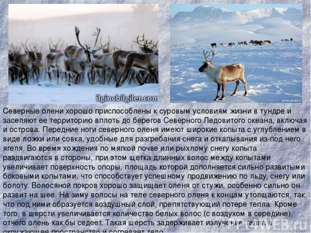Северные олени хорошо приспособлены к суровым условиям жизни в тундре и заселяют ее территорию вплоть до берегов Северного Ледовитого океана, включая и острова. Передние ноги северного оленя имеют широкие копыта с углублением в виде ложки или совка,…