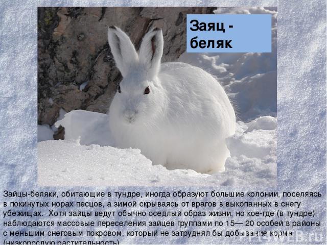 Зайцы-беляки, обитающие в тундре, иногда образуют большие колонии, поселяясь в покинутых норах песцов, а зимой скрываясь от врагов в выкопанных в снегу убежищах. Хотя зайцы ведут обычно оседлый образ жизни, но кое-где (в тундре) наблюдаются массовые…
