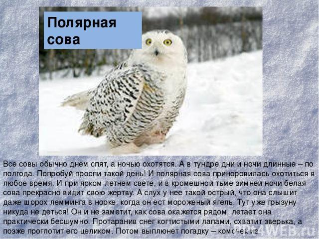 Все совы обычно днем спят, а ночью охотятся. А в тундре дни и ночи длинные – по полгода. Попробуй проспи такой день! И полярная сова приноровилась охотиться в любое время. И при ярком летнем свете, и в кромешной тьме зимней ночи белая сова прекрасно…