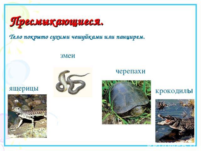 Пресмыкающиеся. ящерицы змеи крокодилы Тело покрыто сухими чешуйками или панцирем. черепахи