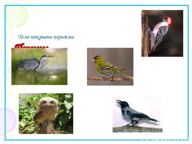Птицы. Тело покрыто перьями