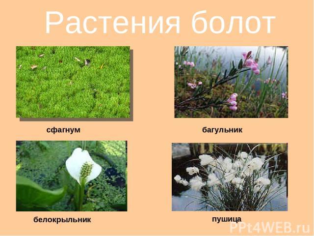 Растения болот сфагнум багульник белокрыльник пушица