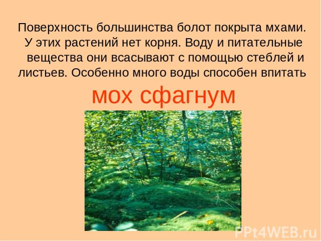 Поверхность большинства болот покрыта мхами. У этих растений нет корня. Воду и питательные вещества они всасывают с помощью стеблей и листьев. Особенно много воды способен впитать мох сфагнум