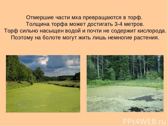 Отмершие части мха превращаются в торф. Толщина торфа может достигать 3-4 метров. Торф сильно насыщен водой и почти не содержит кислорода. Поэтому на болоте могут жить лишь немногие растения.