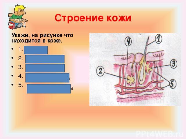 Строение кожи Укажи, на рисунке что находится в коже. 1. 2. 3. 4. 5. Волос Сальные железы Потовые железы Нервные окончания Кровеносные сосуды