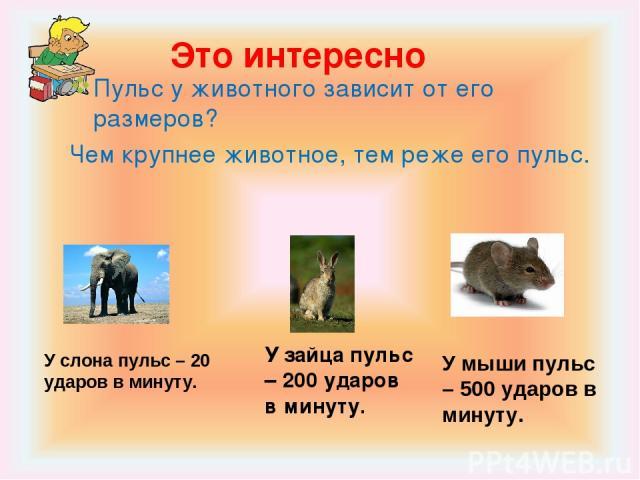 Это интересно Пульс у животного зависит от его размеров? Чем крупнее животное, тем реже его пульс. У слона пульс – 20 ударов в минуту. У зайца пульс – 200 ударов в минуту. У мыши пульс – 500 ударов в минуту.