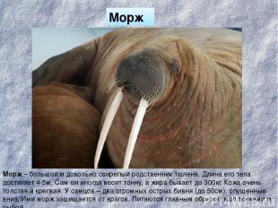 Морж Морж – большой и довольно свирепый родственник тюленя. Длина его тела дости