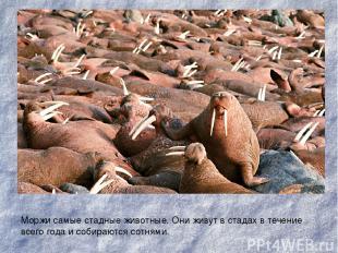 Моржи самые стадные животные. Они живут в стадах в течение всего года и собирают