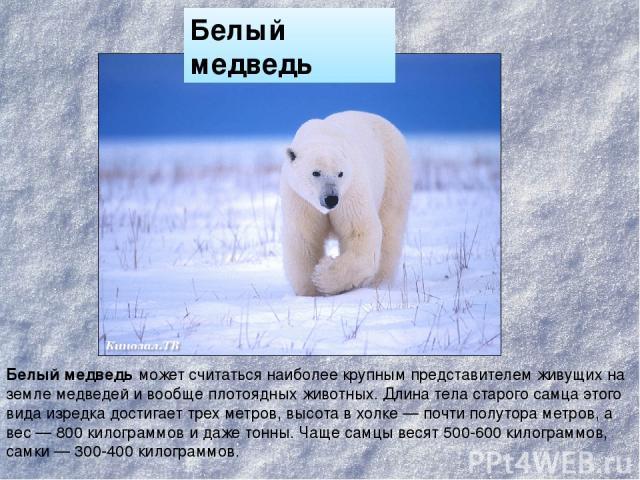 Белый медведь может считаться наиболее крупным представителем живущих на земле медведей и вообще плотоядных животных. Длина тела старого самца этого вида изредка достигает трех метров, высота в холке — почти полутора метров, а вес — 800 килограммов …