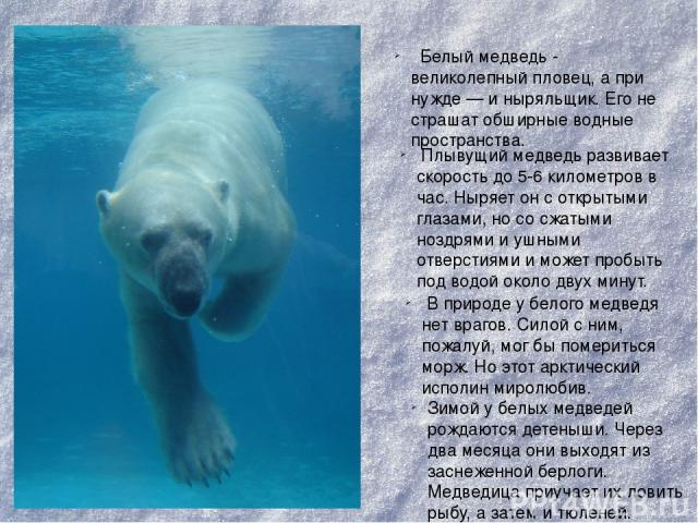 Белый медведь- великолепный пловец, а при нужде — и ныряльщик. Его не страшат обширные водные пространства. Плывущий медведь развивает скорость до 5-6 километров в час. Ныряет он с открытыми глазами, но со сжатыми ноздрями и ушными отверстиями и мо…