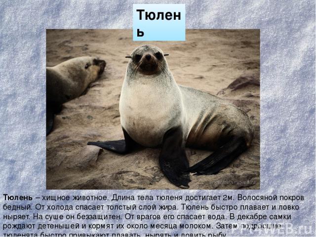 Тюлень Тюлень – хищное животное. Длина тела тюленя достигает 2м. Волосяной покров бедный. От холода спасает толстый слой жира. Тюлень быстро плавает и ловко ныряет. На суше он беззащитен. От врагов его спасает вода. В декабре самки рождают детенышей…