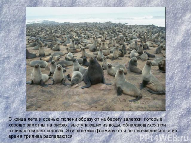 С конца лета и осенью тюлени образуют на берегу залежки, которые хорошо заметны на рифах, выступающих из воды, обнажающихся при отливах отмелях и косах. Эти залежки формируются почти ежедневно, а во время прилива распадаются.
