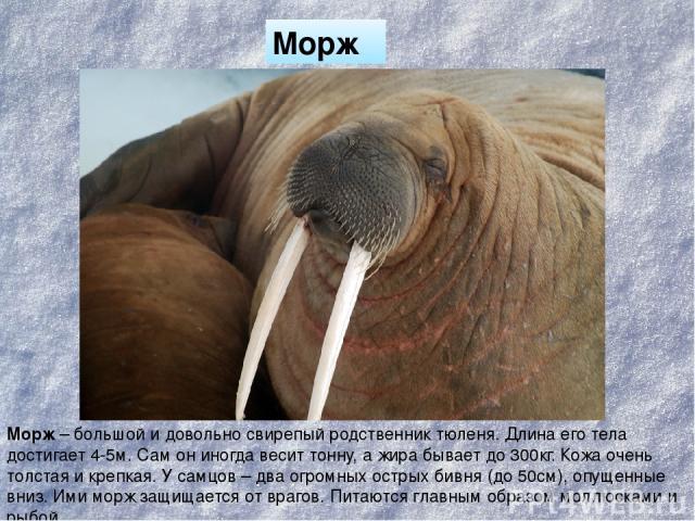 Морж Морж – большой и довольно свирепый родственник тюленя. Длина его тела достигает 4-5м. Сам он иногда весит тонну, а жира бывает до 300кг. Кожа очень толстая и крепкая. У самцов – два огромных острых бивня (до 50см), опущенные вниз. Ими морж защи…
