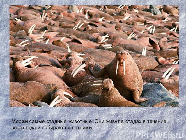 Моржи самые стадные животные. Они живут в стадах в течение всего года и собираются сотнями.