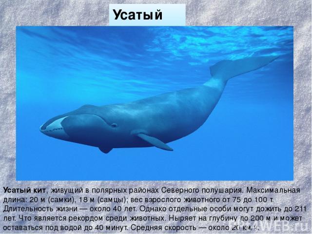 Усатый кит Усатый кит, живущий в полярных районах Северного полушария. Максимальная длина: 20м (самки), 18м (самцы); вес взрослого животного от 75 до 100 т. Длительность жизни— около 40 лет. Однако отдельные особи могут дожить до 211 лет. Что явл…