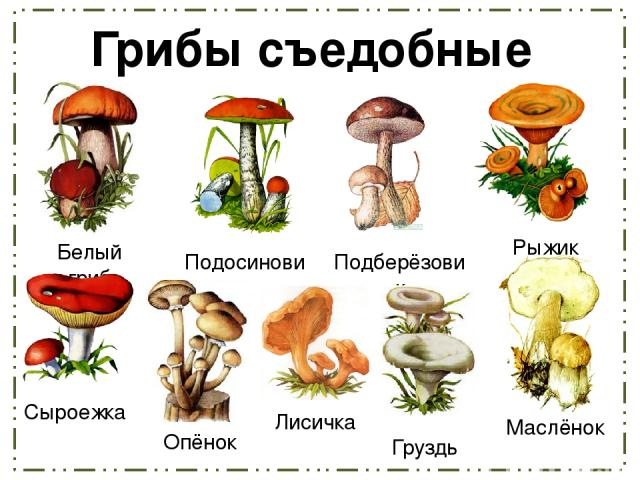 Грибы съедобные Белый гриб Подосиновик Рыжик Подберёзовик Сыроежка Опёнок Лисичка Груздь Маслёнок