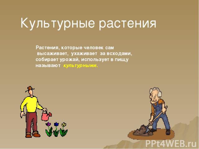 Культурные растения Растения, которые человек сам высаживает, ухаживает за всходами, собирает урожай, использует в пищу называют культурными.