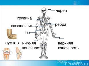 череп грудина рёбра позвоночник таз верхняя конечность сустав нижняя конечность