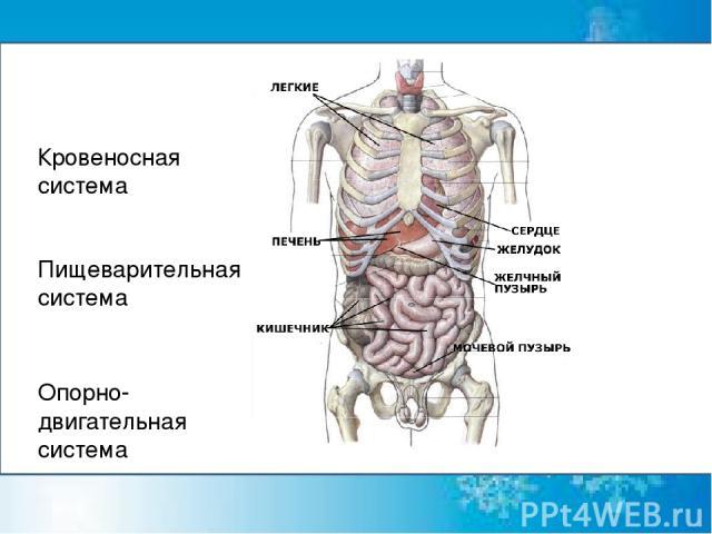 Кровеносная система Пищеварительная система Опорно-двигательная система