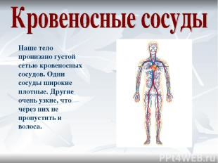 Наше тело пронизано густой сетью кровеносных сосудов. Одни сосуды широкие плотны
