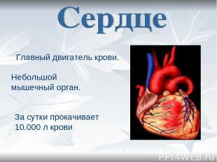 Главный двигатель крови. Небольшой мышечный орган. За сутки прокачивает 10.000 л