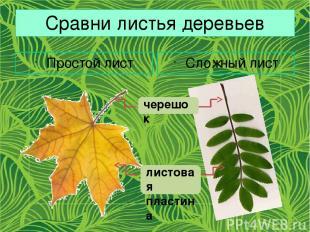 Сравни листья деревьев Простой лист Сложный лист черешок листовая пластина