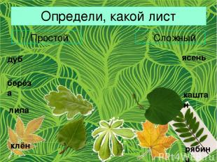 Определи, какой лист Простой Сложный дуб берёза липа клён ясень каштан рябина