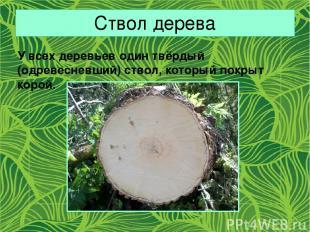 Ствол дерева У всех деревьев один твёрдый (одревесневший) ствол, который покрыт