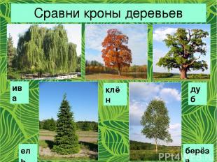 Сравни кроны деревьев ива клён дуб ель берёза