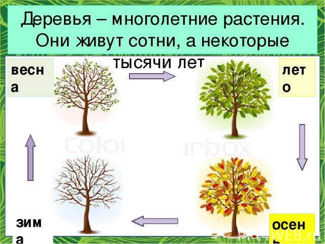 Деревья – многолетние растения. Они живут сотни, а некоторые тысячи лет. зима весна лето осень