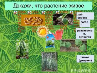 Докажи, что растение живое даёт семена растёт развивается, питается вянет (умира