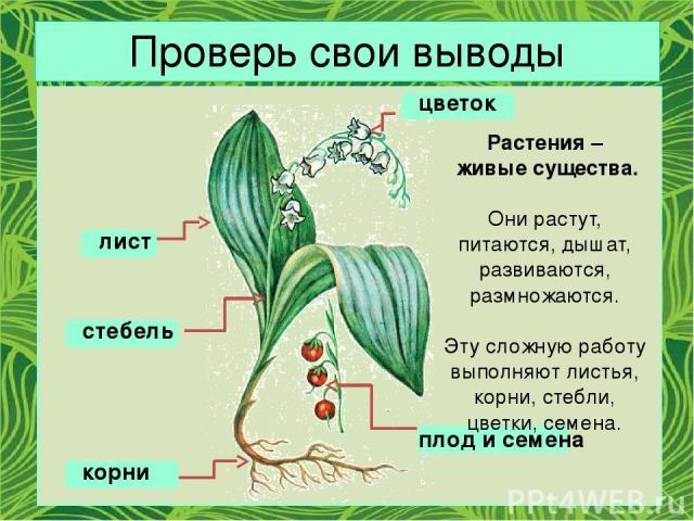 Проверь свои выводы цветок плод и семена лист стебель корни Растения – живые существа. Они растут, питаются, дышат, развиваются, размножаются. Эту сложную работу выполняют листья, корни, стебли, цветки, семена.